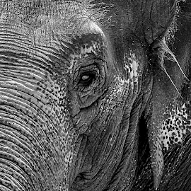 Elephant Portrait by Bob Slitzan - Animals Other Mammals ( slitzan, face, old, bob, b&w, african, elephant, pictures, wildlife, bobsartwork, photography, artwork, skin, asian, aged, pachyderm, nature, zoo, asia, grey, head, closeup, black, eye, wrinkled, animal, wild, species, gallery, texture, enormous, white, bob slitzan, adult, heavy, gray, close-up, portrait, mammal, trunk, ear, strong, tough, endangered, big, large )