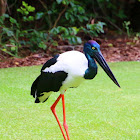Jabiru (Black-necked Stork)
