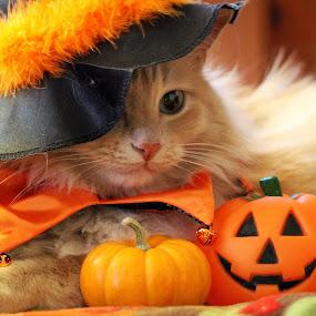 by Brandi Nichols - Public Holidays Halloween ( cat, halloween,  )