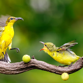 Sunbirds by MazLoy Husada - Animals Birds
