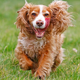by James Blyth Currie - Animals - Dogs Running ( cocker spaniel )
