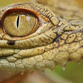Crocodile Eye by Agustinus Tri Mulyadi - Animals Amphibians ( animals,  )