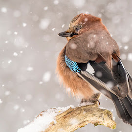 jay at the snowstorm... by Stanley P. - Animals Birds