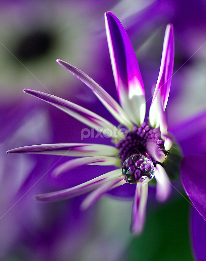 Hybrid by Peter Greenhalgh - Nature Up Close Flowers - 2011-2013 ( pericallis, patio plant, violet, houseplant, hybrid, flower, water drop )