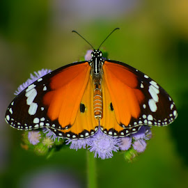 Butterfly by Subal Soral - Animals Other