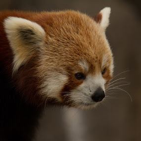 red panda by Marc Zangger - Animals Other Mammals ( red, ailurus fulgens, white, wildlife, head, red panda )