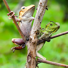 What the hell is that ? by Rizki Irfansyah - Animals Amphibians ( eared tree frog, forest dragon )