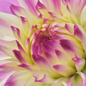 Dahlia Hamburg by Viive Selg - Nature Up Close Flowers - 2011-2013 ( , flower, nature, flowers, purple, yellow, color, the mood factory, mood, lighting, sassy, pink, colored, colorful, scenic, artificial, lights, scents, senses, hot pink, confident, fun, mood factory , creativity, art, artistic, mood factory, vibrant, happiness, January, moods, emotions, inspiration, breast cancer awareness, mood-lites, brighten our world )