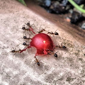angry ants.. by Arjun Vjy - Animals Insects & Spiders ( berry, lion, red, quote, fujifilm, courage, angry, hard work, ant )