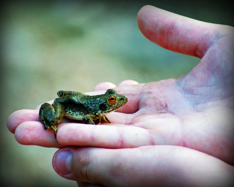 A Frog in the Hand by Teresa Delcambre - Animals Amphibians ( frog, hands, toad )