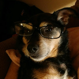 Jesse by Teresa Flowers Wolford - Animals Other ( angel, adopted, rainbow bridge, glasses, beautiful, precious, rescue, adorable, cute dog,  )