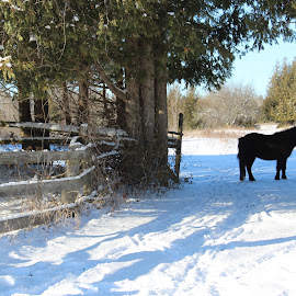 Cee Cee by Linda    L Tatler - Animals Horses