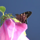 Dorantes Longtail Skipper Butterfly