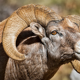 Alpha Ram by Bruce Newman - Animals Other Mammals ( animals, upclose, dramatic, nature photography, bighorn ram, portriat,  )