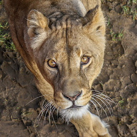 Lioness by Garry Chisholm - Animals Lions, Tigers & Big Cats ( big cat, garry chisholm, predator, lion, nature, wildlife )