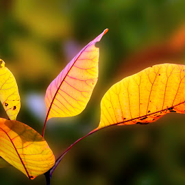 Cotinus leaves.. by Silviu Zlot - Nature Up Close Leaves & Grasses