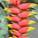 Heliconia   (Lobsterclaw)