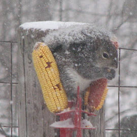 Squirrel Snacking by Laura Mohoi - Animals Other ( snowy, squirrel )