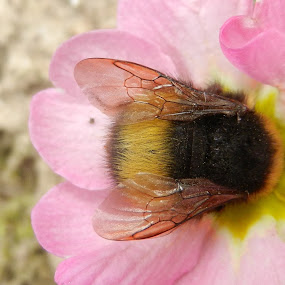 Bumbeblee in action by Nat Bolfan-Stosic - Uncategorized All Uncategorized ( rose, bumblebee, action, spring, flower )