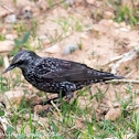 Spotless Starling; Estornino Negro