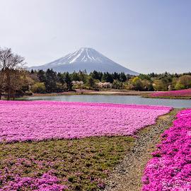 Phlox Subulata below the Fuji mountain by Sơn Hải - Landscapes Travel ( field, japan, sky, mountain, nature, tree, asia, lake, travel, landscape, pond, flower )