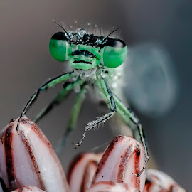 Damigella by Stefania Loriga - Animals Insects & Spiders