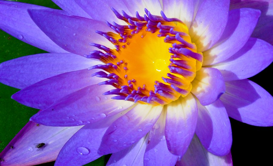Water Lily by Ragai Karas - Nature Up Close Flowers - 2011-2013 ( ragai karas, nature, plants, flowers, landscape )