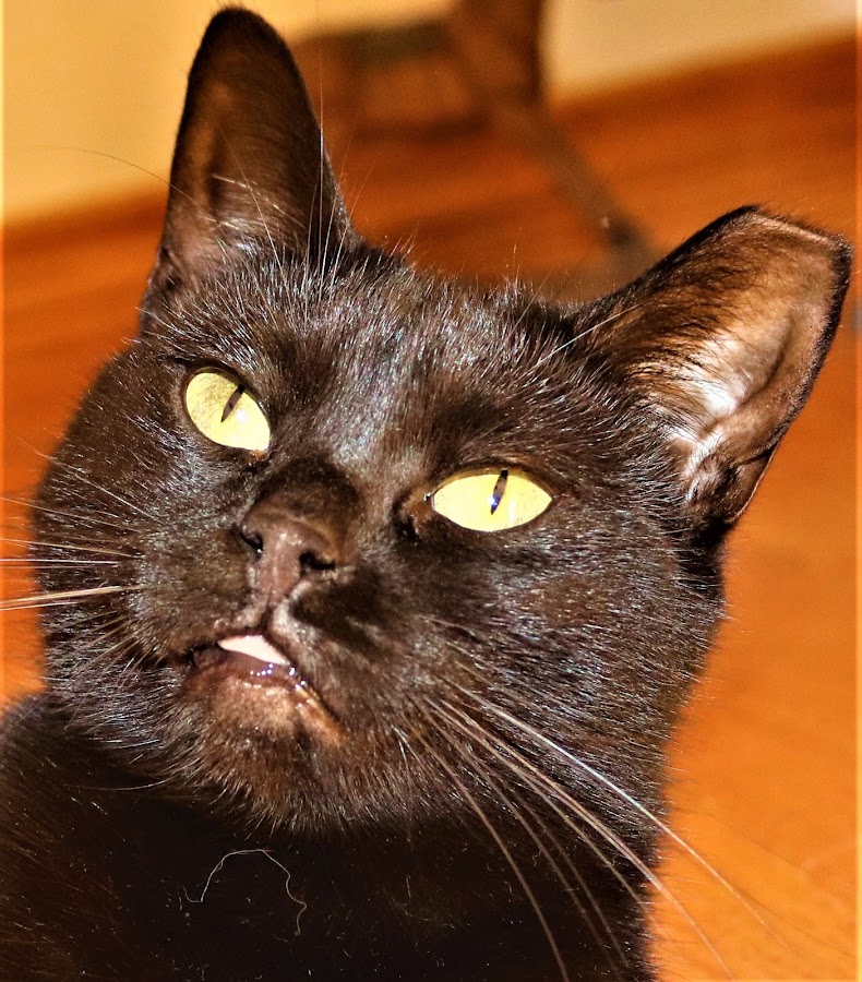Miss Oddie by Linda    L Tatler - Animals - Cats Portraits (  )