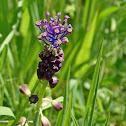 Tassel Grape Hyacinth