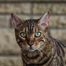 you looking at me? by Dee Tee - Animals - Cats Portraits ( stare, ears, green eyes, big, bengal, tabby,  )