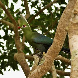 Livingstone's Turaco by Judy Patching - Novices Only Wildlife ( bird, turaco, green, wildlife,  )