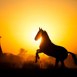 The Stallion by Russell Dmello - Animals Horses ( canon, animals, horse, india, silhoutte, travel )