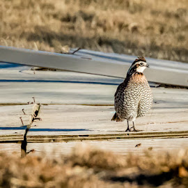 Bobwhite Quail by Jim Hendrickson - Novices Only Wildlife ( bird, wildlife, bobwhite, quail, birds )