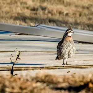 quail 6 (1 of 1).jpg