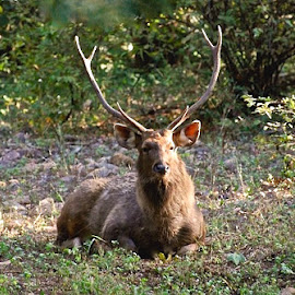 Stag in Rajastan by Janet Rose - Novices Only Wildlife