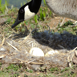 Guarding nest egg by Petrina Grimes - Nature Up Close Hives & Nests ( nest, guarding, egg, feathers, goose )