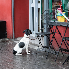 man/womans best friend by John Holmes - Animals - Dogs Portraits ( rtable, waiting, wet, chairs, jack russel, black and white, tied up, dog, red shop )