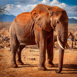 The Tsavo elephant resting by Philippe Collette - Animals Other Mammals
