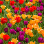 tulip garden #1 by Frank Barnitz - Flowers Flower Gardens ( colorful, tulips, flowers )