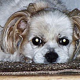 Mister Willie by Carrie Cadenas - Animals - Dogs Portraits ( dog white beige )