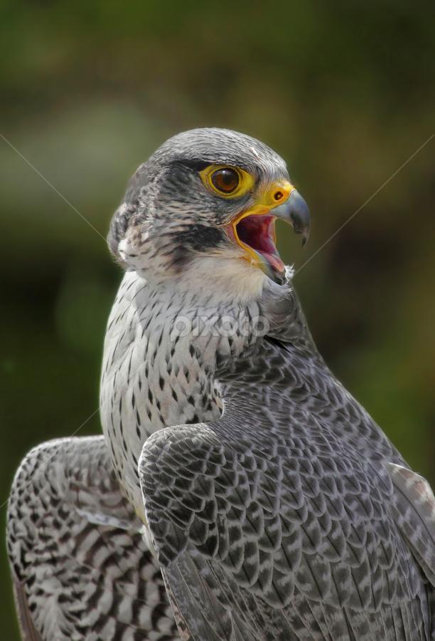 Falco rusticolus by Michael Milfeit - Animals Birds ( crying for food, falco rusticolus, falke, raubvogel, pwctaggedbirds, crying, rauris, austria, gerfalke,  )