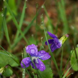 Violets in the rain by Glenda Clausen - Nature Up Close Natural Waterdrops ( water, nature, violets, raindrops, flowers )