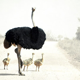 Field Trip by Bjørn Borge-Lunde - Digital Art Animals ( bird, wild bird, wilderness, nature, african bird, ostrich, big bird, wildlife, africa )