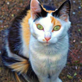Clouseau by Raphael RaCcoon - Animals - Cats Portraits ( cat, clouseau, kittie, green eyes, kitty )