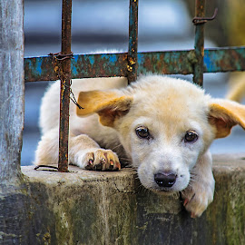 Wedged by Kriswanto Ginting's - Animals - Dogs Portraits ( fence, dog portrait, puppy, nikon, dog )