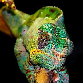 Caméléon panthère by Gérard CHATENET - Animals Reptiles