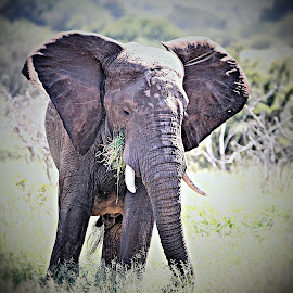 Young Bull by Pieter J de Villiers - Animals Other