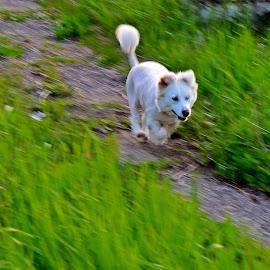 Flying Puf by Ciprian Apetrei - Animals - Dogs Running ( panning, ploiesti, outdoor, dog, running )