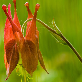 Blue Ridge flower by Andy Goo - Novices Only Flowers & Plants ( macro, red, stamen, yellow, flower )
