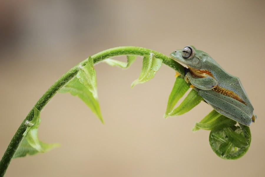 treefrog by Tele Nicotin - Animals Amphibians ( amfibi, macro, frog, treefrog, animal )